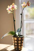 Hvordan holde en Orchid Upright