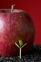 Hvordan Grow Organic Apple Trees