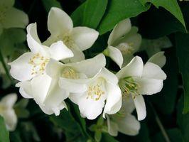 Hva er noen av de medisinske formål av Jasminum grandiflorum?
