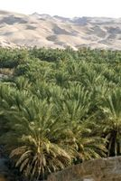 Palm Trees for High Desert i California