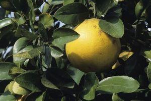 Hvordan Plant en grapefrukt Uten Potting Soil