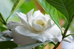Hvordan lage en Gardenia Plant Bloom