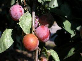 Det beste klimaet for Plum Trees