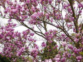 Magnolia tre varianter i Nord-Indiana