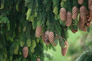 Syre eller alkalisk jord for Evergreen Trees?