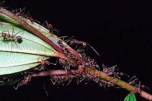 Hvordan bli kvitt maur Naturally