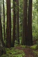 En beskrivelse av California Redwoods
