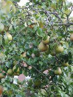 Hvordan ta vare på en gammel Pear Tree