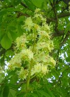 Hvordan identifisere en Horse Chestnut Tree