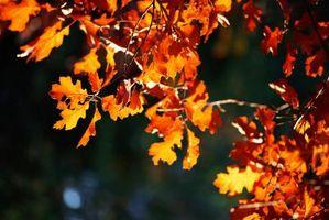 Hvordan Dig Out en Oak Tree