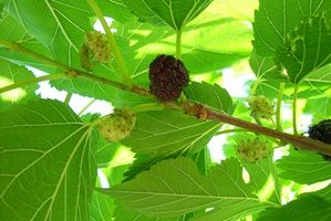 Hvordan Plant Mulberries i leirjord i Arizona