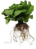 Hydroponics å dyrke grønnsaker