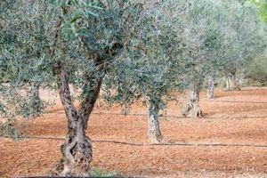 Min Olive Tree Betyr ikke produsere frukt