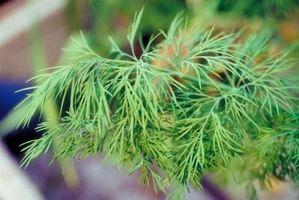 Hvordan bruke Dill Weed