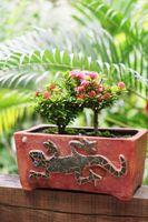 Miniatyr Rose plantesykdommer