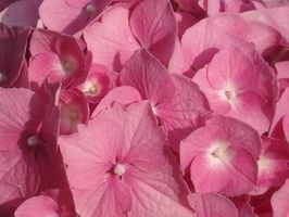 Hvordan å plante hortensia