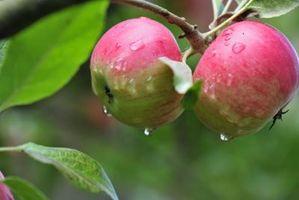 Hvordan søke gjødsel til Frukttrær