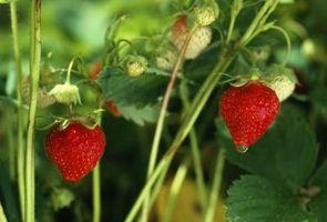 Hvordan forberede jorden for planting Jordbær