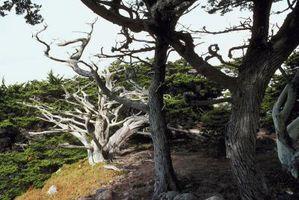 Hvordan Grow Monterey Cypress Seeds