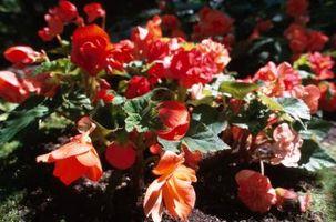 Hva er fargene fra Dragon Wing Begonia?