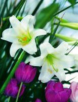 Hvordan Grow Single-Flower Liljer