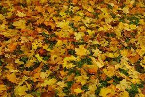 Hvordan bruke falne blader for Mulch