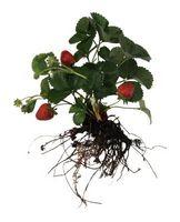 Hvordan Grow Jordbær i en Screen Room