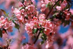 Hvor fort Har Blomstrende Cherry Tree Amanogawa vokser?