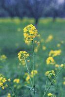 Planter Relatert til Mustard