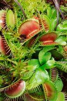Kjøttetende planter i hjemmet hager