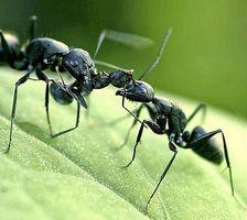 Hvordan bli kvitt maur med eddik og vann