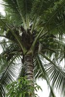 Slik Care for en Coconut Palm Houseplant
