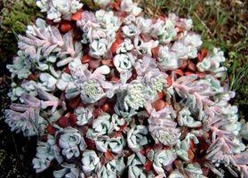 Fargede Planter Native til Southwest for Landscaping
