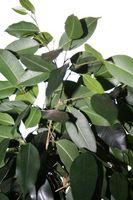 Hvordan Vann Gummi Planter