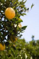 Hvorfor Is My Orange Tree Ikke fruiting?