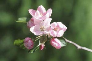 Bloom Datoer for Apple Trees