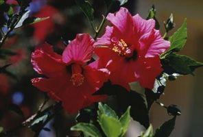 Rose of Sharon Blooms vil ikke åpne