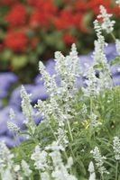 """Salvia """"Victoria White 'Care"""