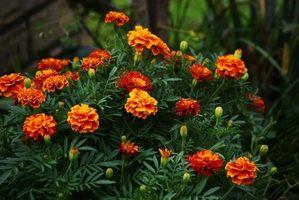Hva slags blomster gjør en Marigold ut?