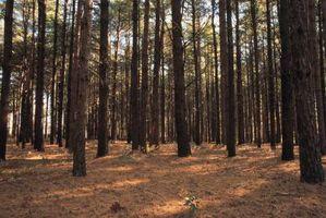Hvordan Gjødsle Loblolly Pines