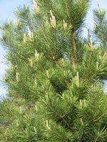Hvordan Plant Norge Spruce grupperinger