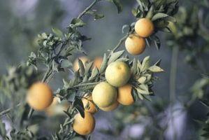 Kan du Spray frukttre Leaves for Bugs?