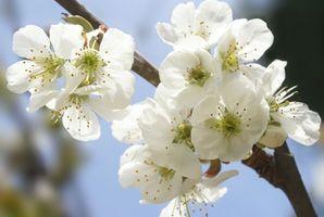 Hvordan Plant Blomstrende Cherry