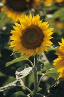 Har Solsikker vokse mer enn ett Flower?