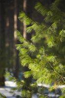 Pine Leaf Identifikasjon