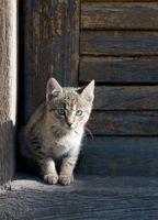 Hvordan bli kvitt katten urin fra Carpet