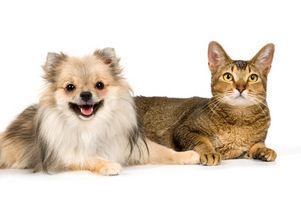 Hvordan oppdage Carpet Pet Flekker