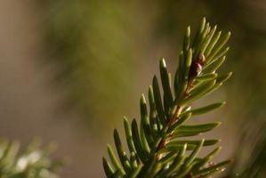 Lys Krav til en Colorado Blue Spruce
