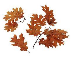 Flekker på Oak Tree Leaves