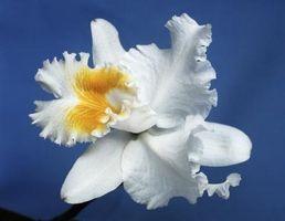 Slik Care for en Cattlyea Orchid